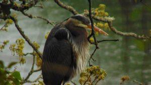Great Blue Heron, Brentwood Bay, , Vancouver Island, BC Coastal Region, Vancouver Island, BC