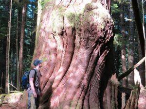 Giant Cedar, Vancouver Island, Cape Scott Park, BC