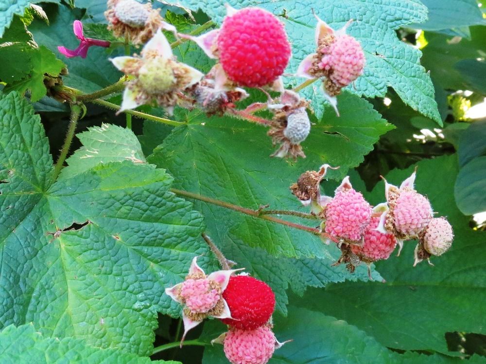 Thimbleberry Plant, BC Coastal Region