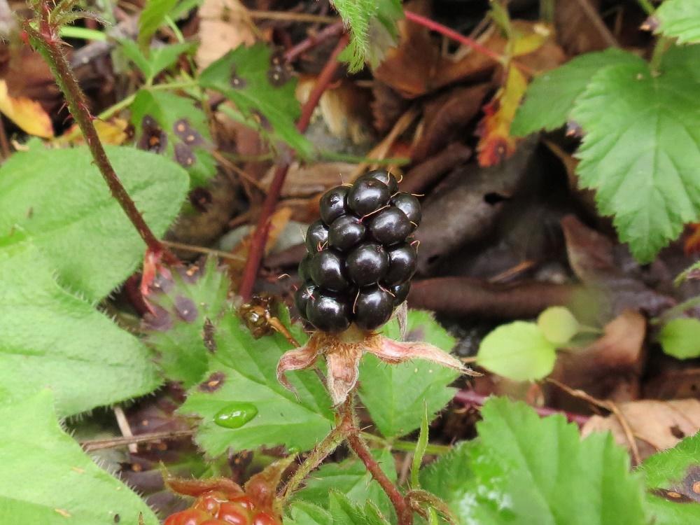 Trailing Blackberry, Wildflowers, Pacific Northwest
