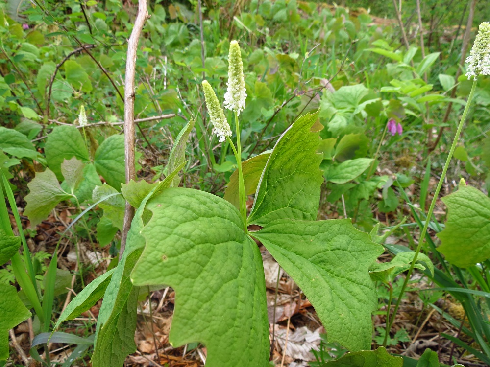 Vanilla Leaf Plant, BC Coastal Region