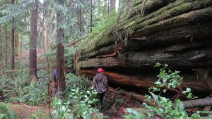 Western Red Cedar, BC Coastal Region, Campbell River, Vancouver Island