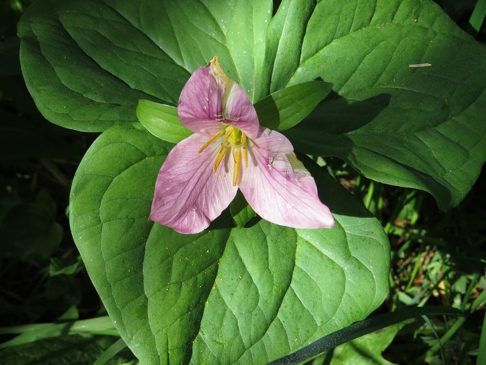 Western Trillium, Wildflowers, Pacific Northwest