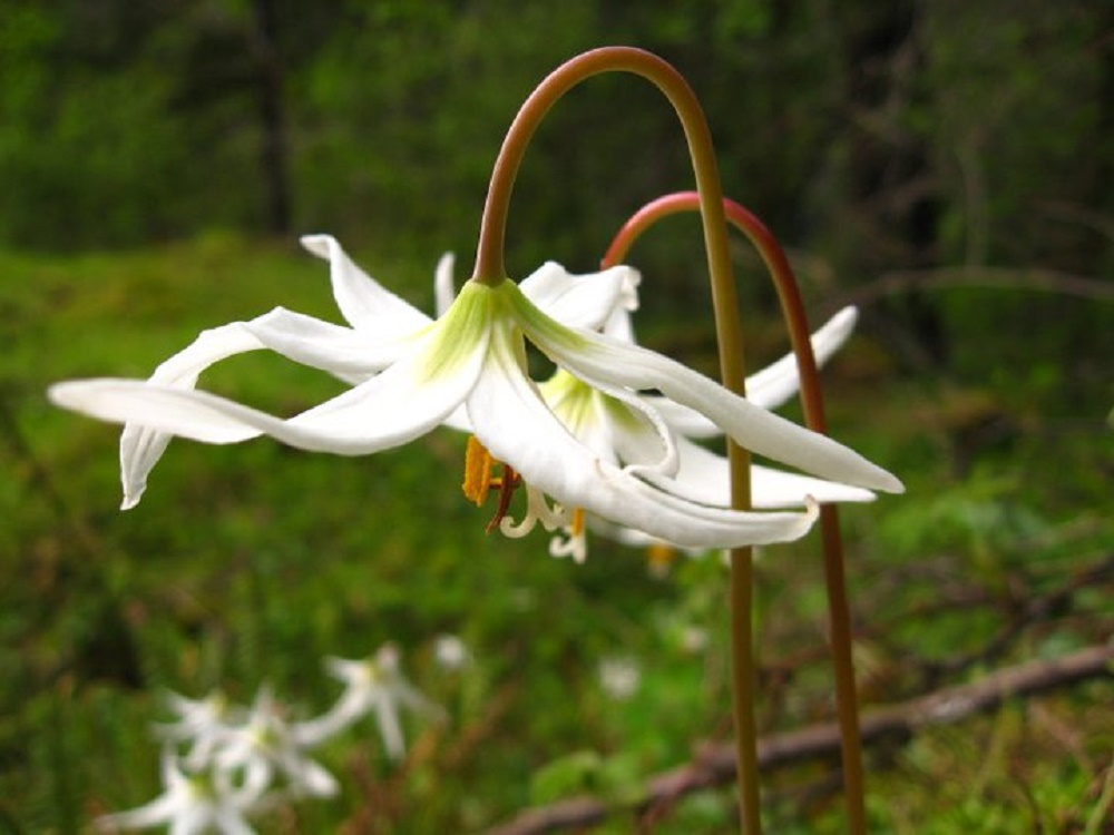 White Fawn Lily, Vancouver Island, BC