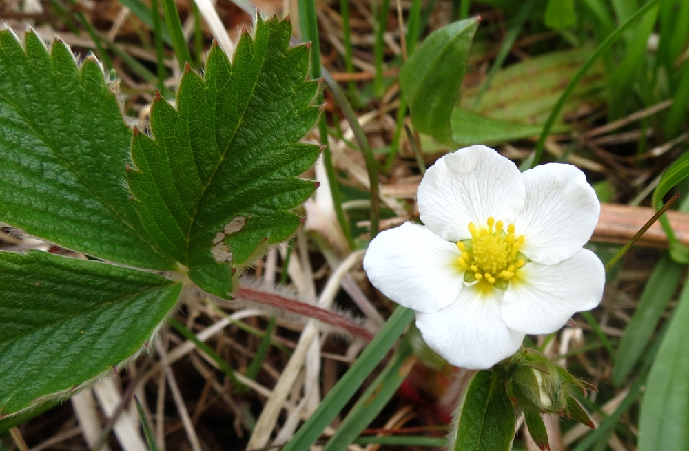 Wild Strawberry, BC Coastal Region
