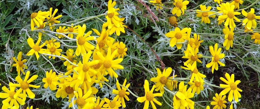 Woolly Sunflower, BC Coastal Region