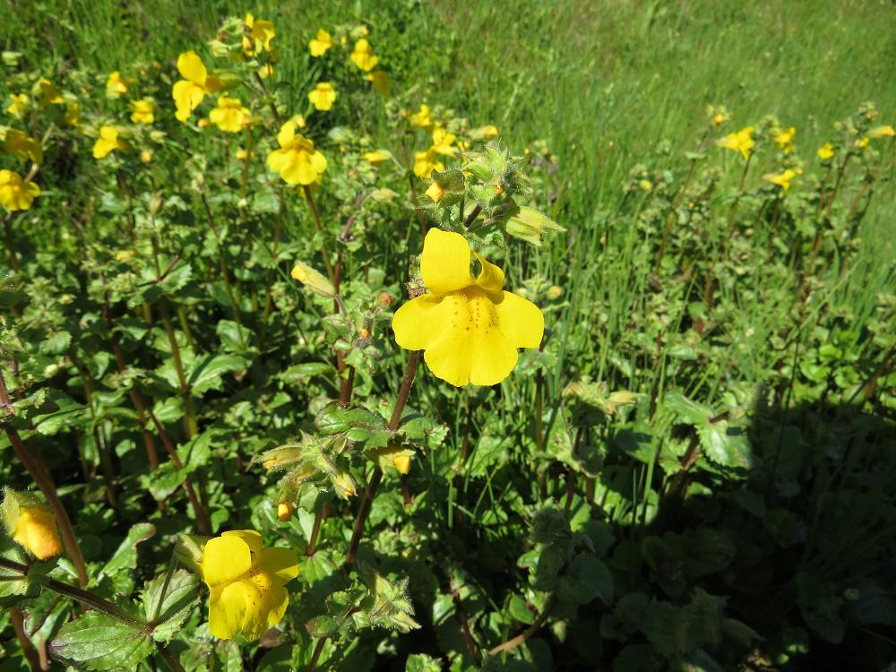 Yellow Monkey Flowers, BC Coastal Region