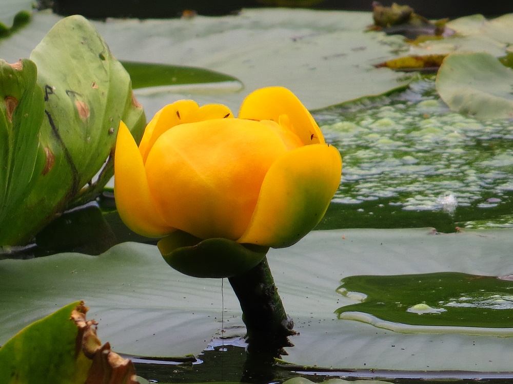 Yellow Water Lily, Wildflowers, Pacific Northwest
