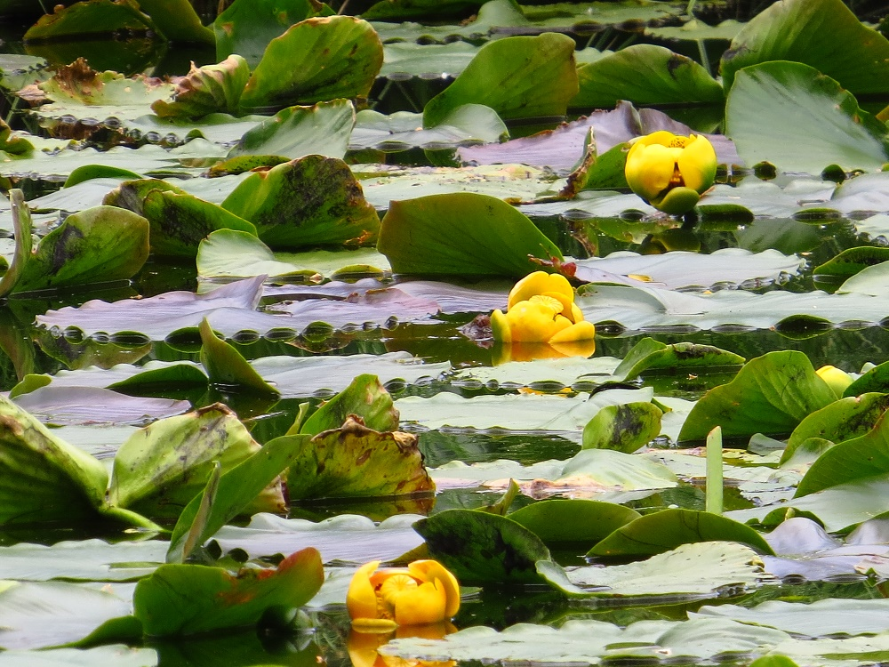 Yellow Water Lily, BC Coastal Region