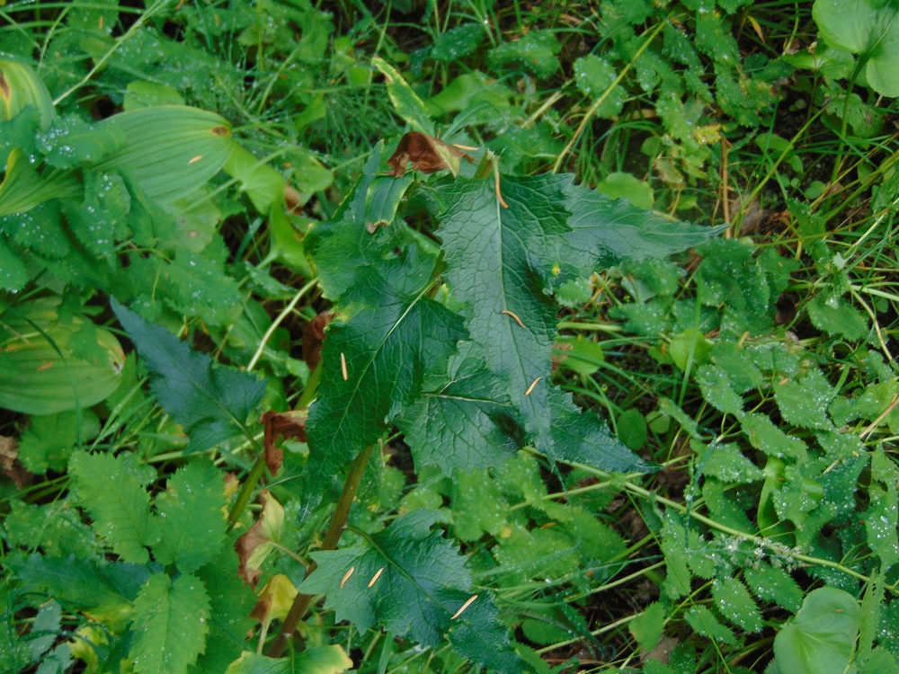 Arrow Leaved Groundsel, Wildflowers, Pacific Northwest