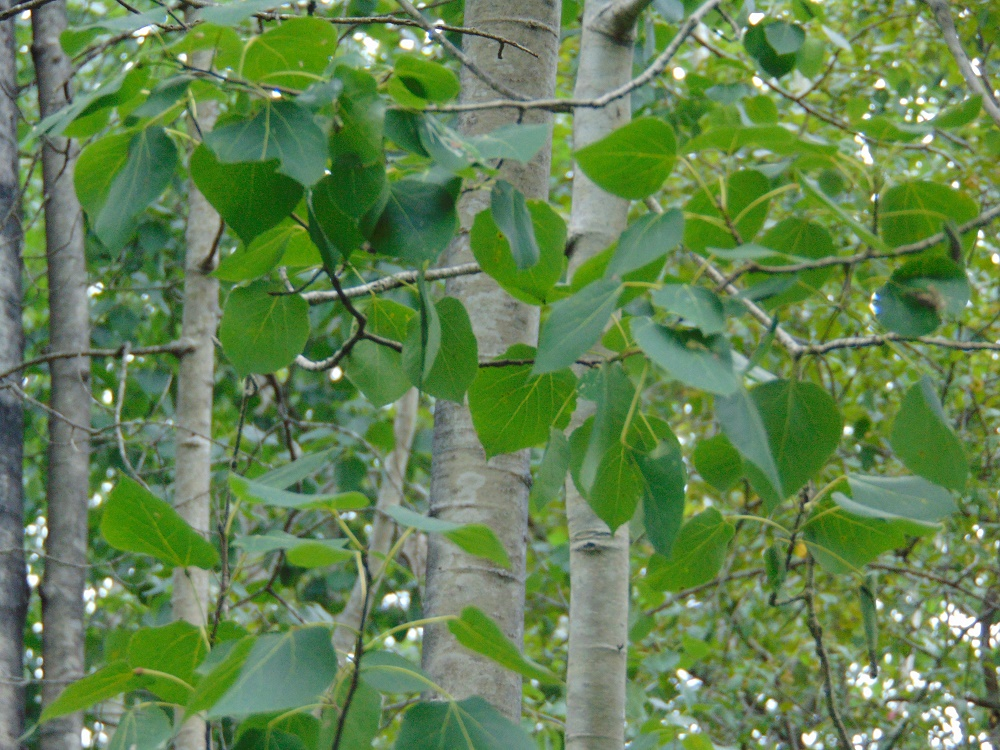 Aspen Trees, Deciduous Trees, Trees, Pacific Northwest