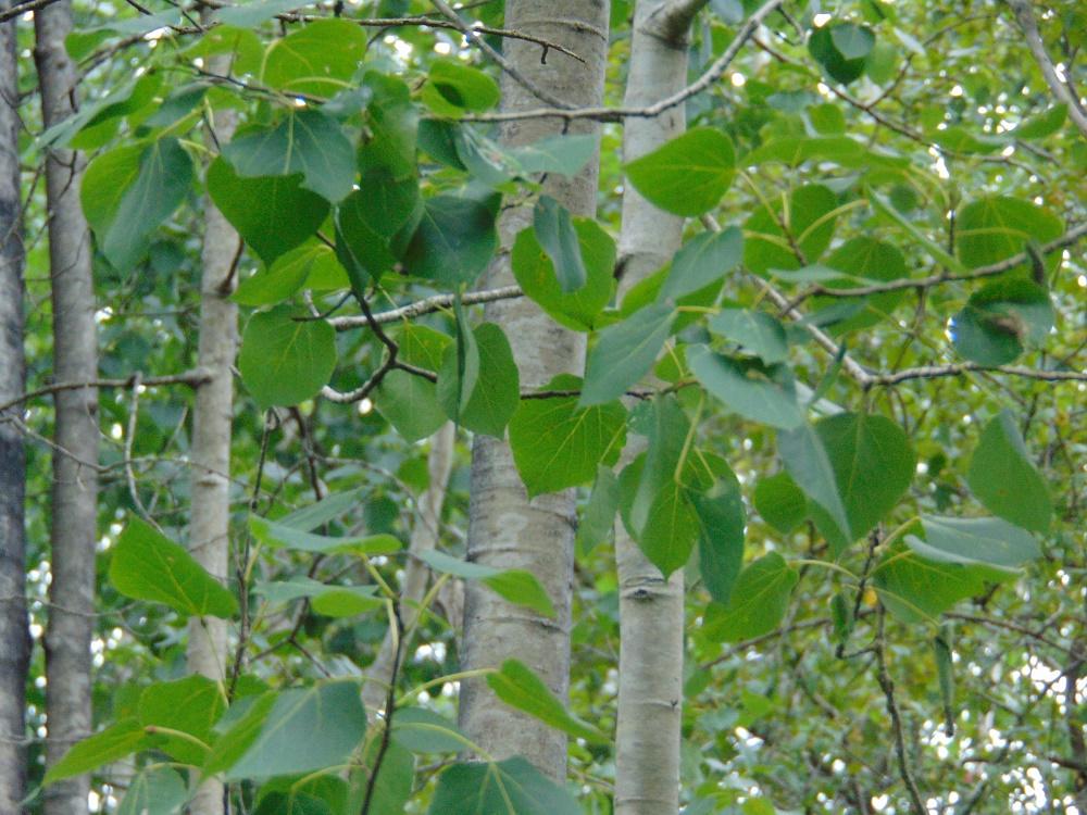 Aspen Trees, Deciduous Trees, Trees, Pacific Northwest