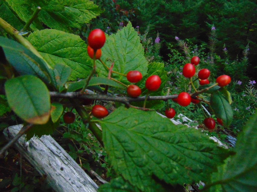 Bitter Cherry, deciduous Trees, Trees, Pacific Northwest