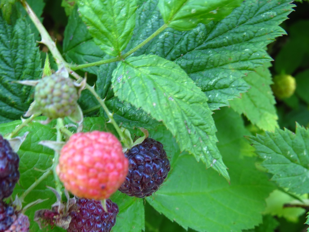 Black Cap Raspberries, Pacific Northwest
