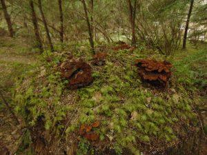 Phaeolus Schweinitzii Mushroom