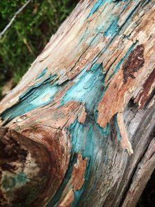 Green Stain Fungi