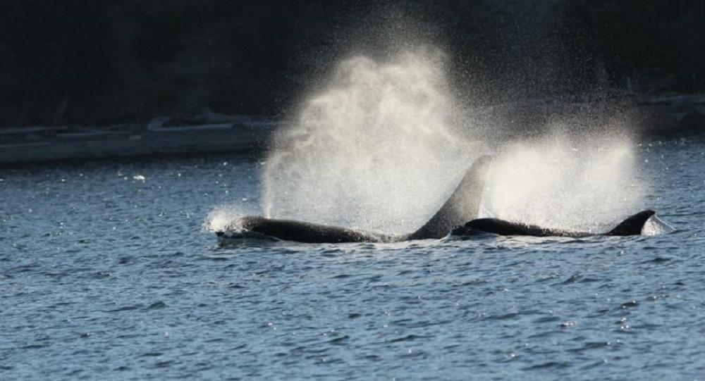Killer Whales, Chrome Island, BC