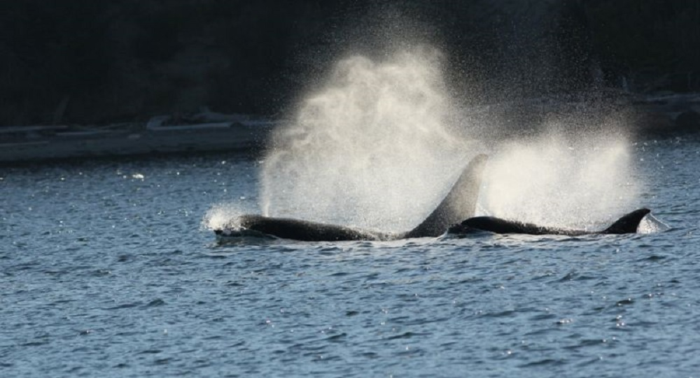Killer Whales, Chrome Island, Banes Sound, Pacific Northwest