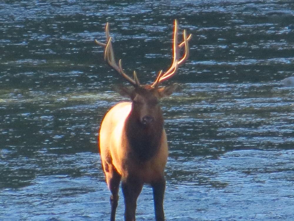 Roosevelt Elk, Pacific Northwest