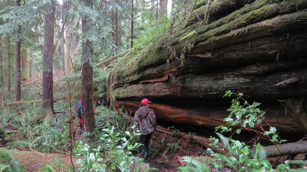 western red cedar , Pacific Northwest