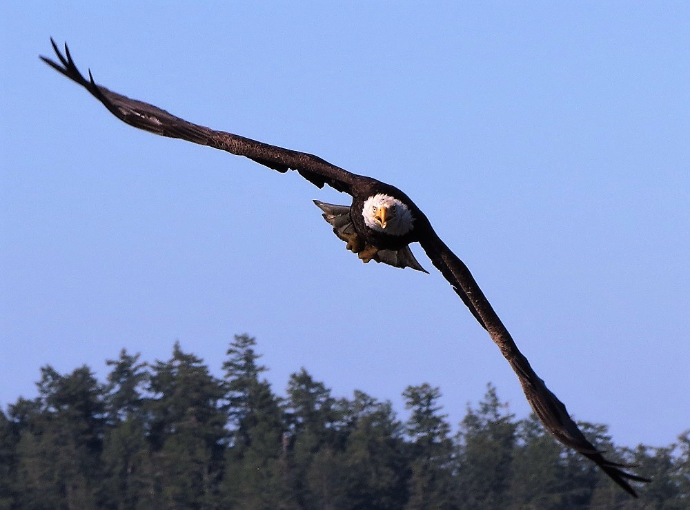 The Eagles on our coast are incredible