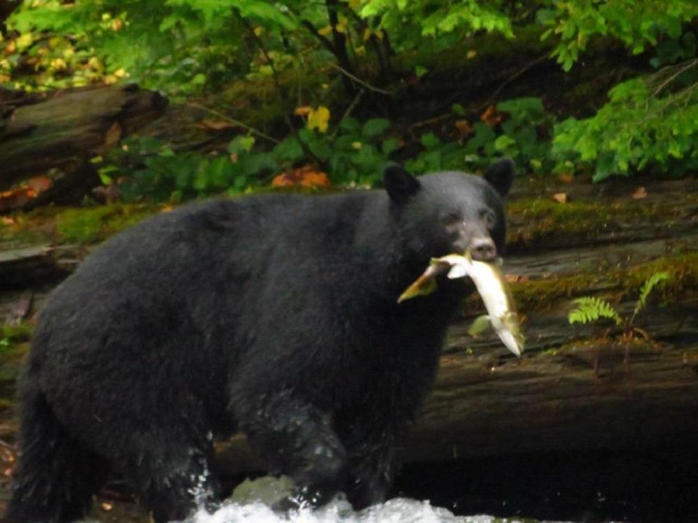 Black Bear, Pacific Northwest
