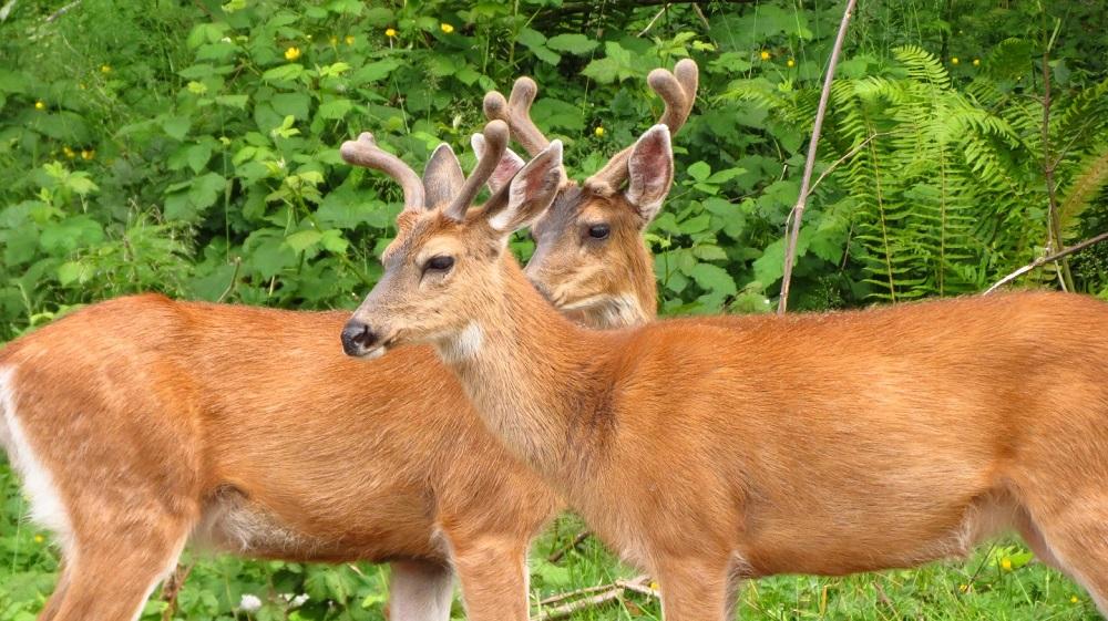 Black Tail Deer, Pacific Northwest
