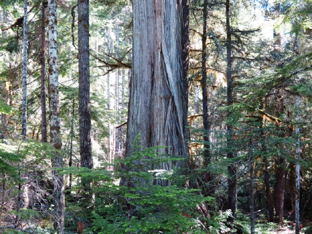 Mother Tree, Vancouver Island, Pacific Northwest