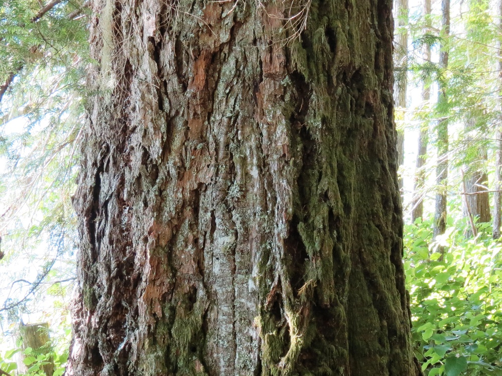 Fir Tree, Vancouver Island, Pacific Northwest