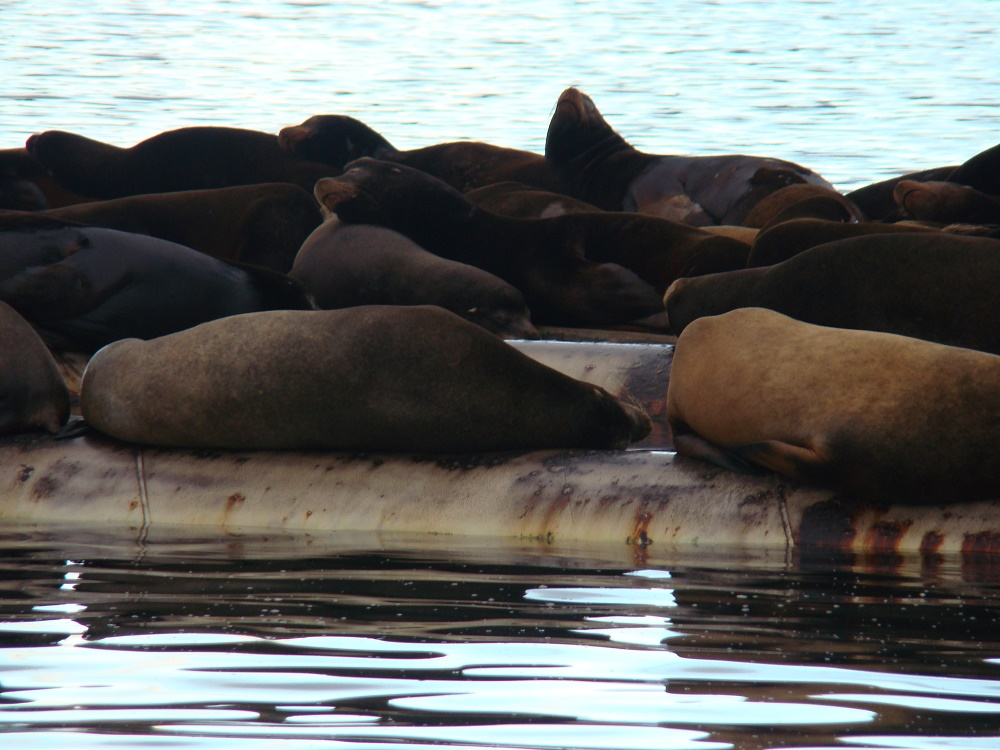 Sea Lions, Fanny Bay, Vancouver Island, Pacific Northwest