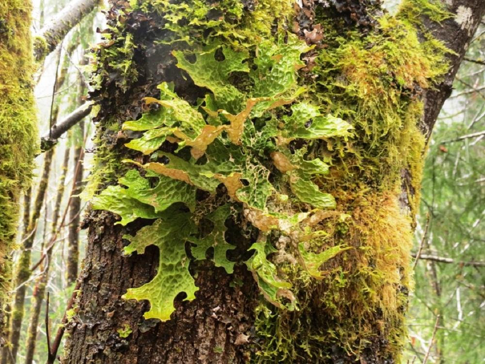 Lobaria Oregana Lichen, Vancouver Island, Pacific Northwest