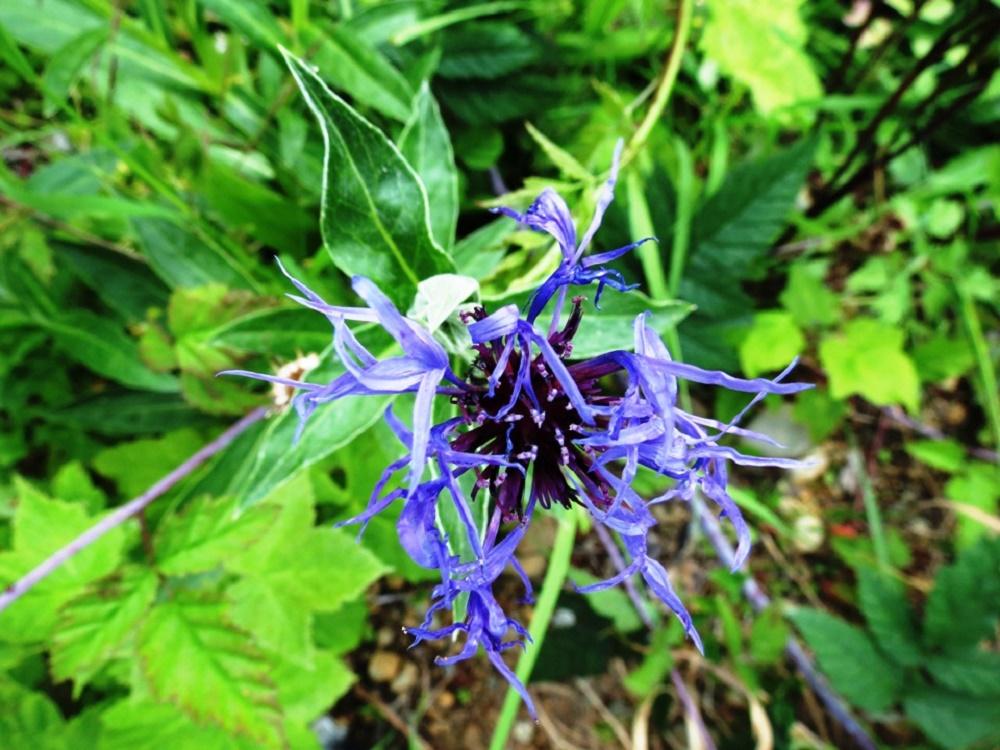 Blue Cornflower, Pacific Northwest