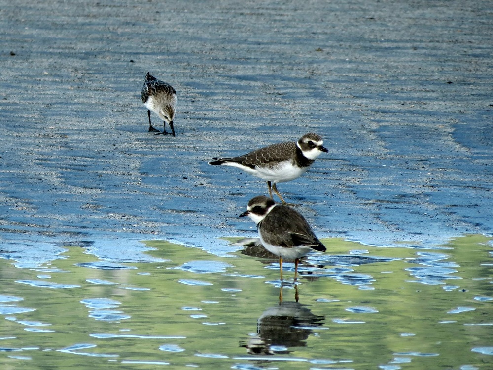 Semipalmated Plovers, Birds, Pacific Northwest