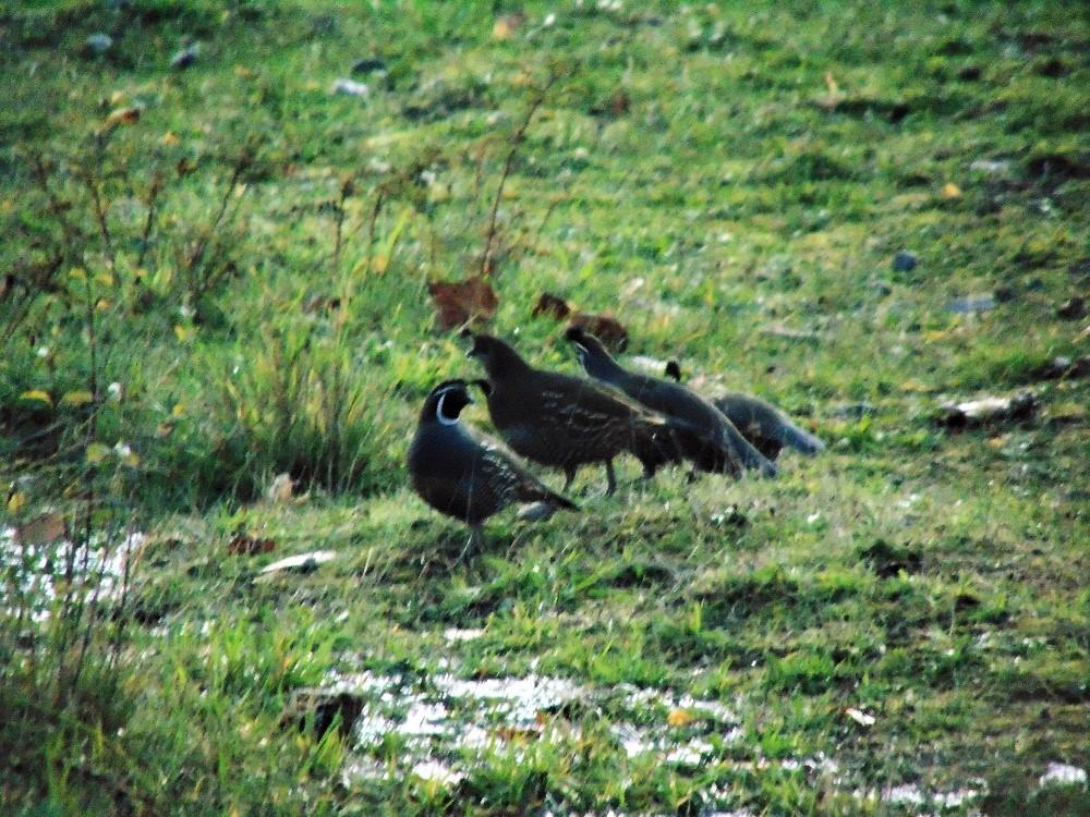 California Quail, Birds, Pacific Northwest