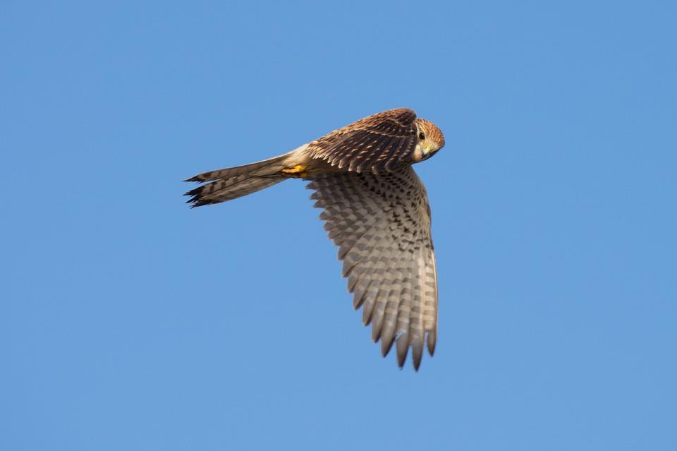 Merlin Falcon, Pacific Northwest