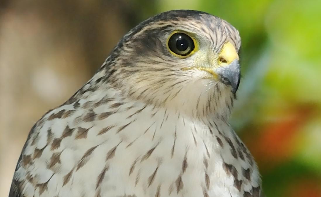 Sharp Shinned hawk, Pacific Northwest