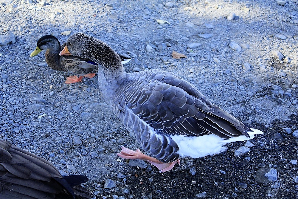 Graylag Goose, Geese, Birds, Pacific Northwest