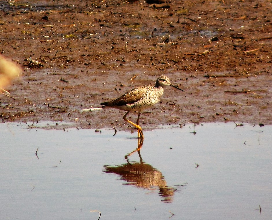 Lesser Yellowlegs, Birds, Pacific Northwest