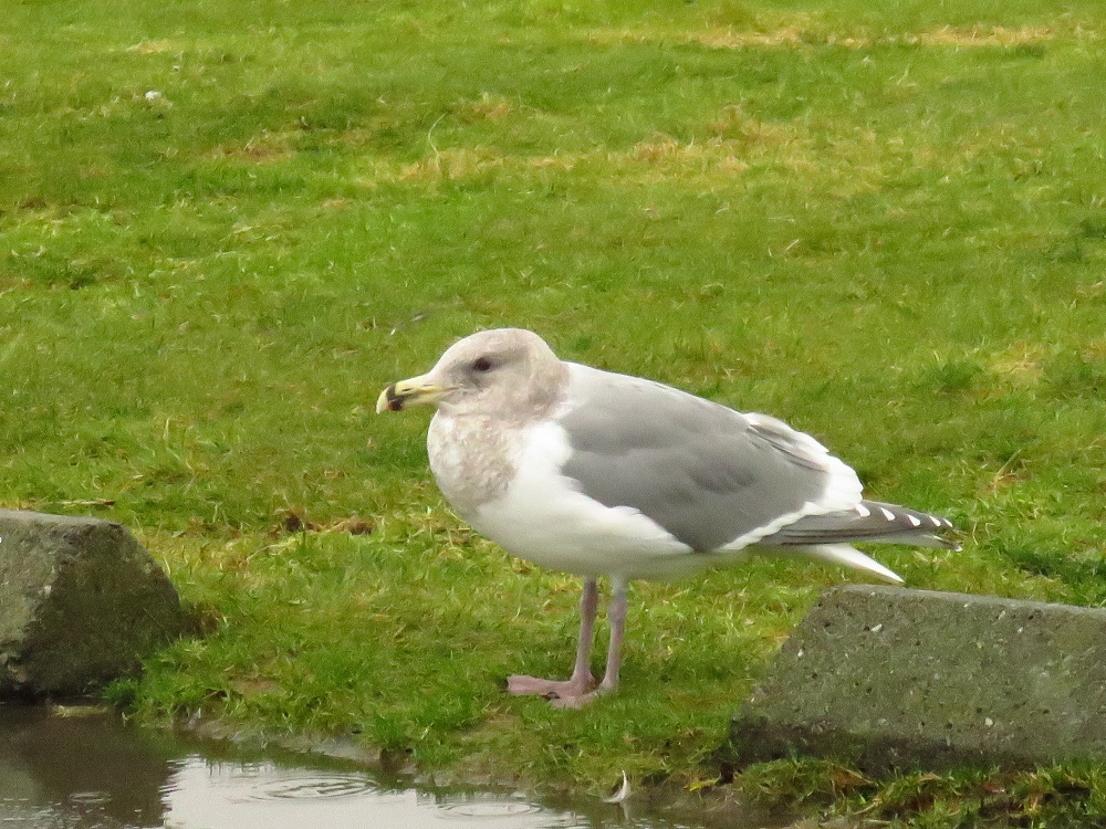Ring-Billed Gull, Vancouver Island, BC