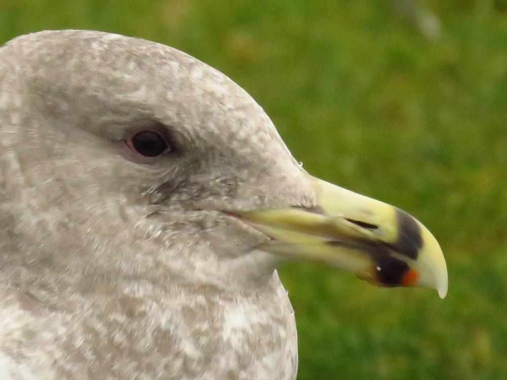 Ring Billed Gull, Birds, Seabirds, Pacific Northwest