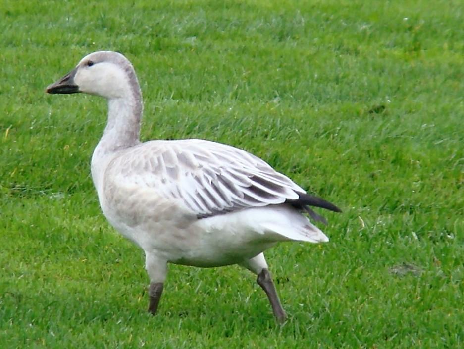 Snow Geese, Birds, Pacific Northwest