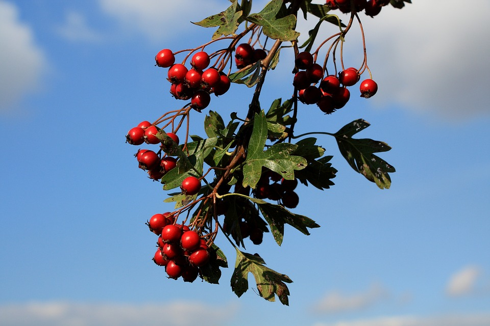 Hawthorn Berries, Vancouver Island, BC.