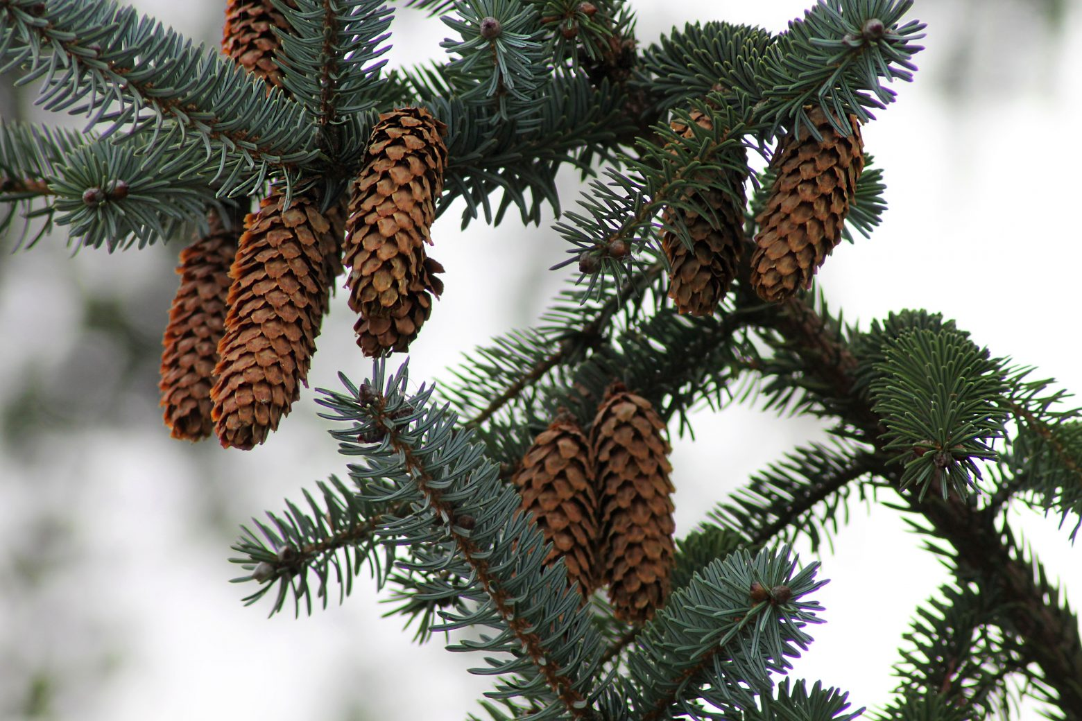 Spruce Needles and; Cones, Vancouver Island, BC.