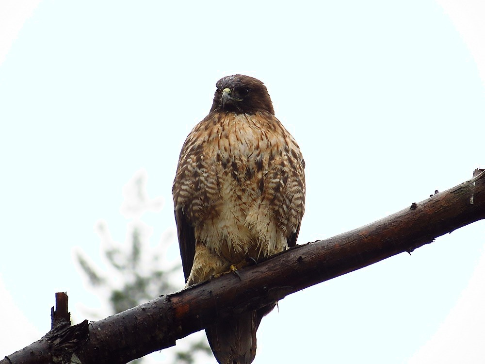 Red-Tailed Hawk, Vancouver Island, BC