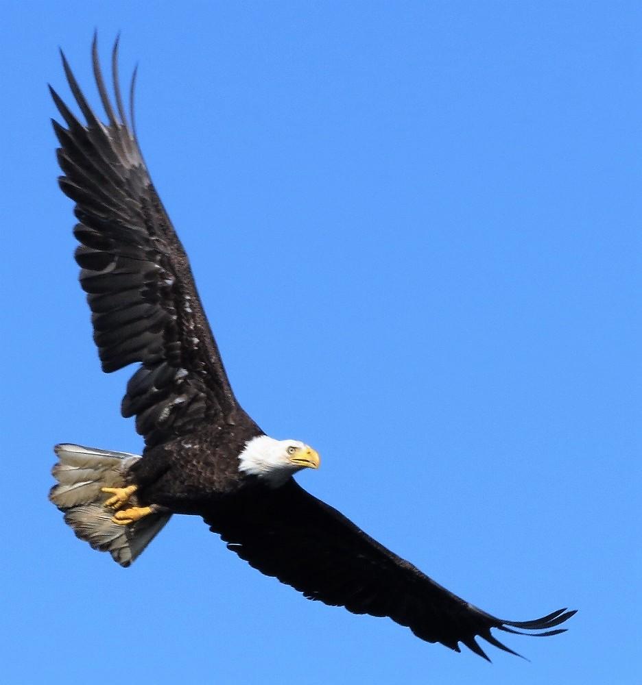 Eagle, Photo By Robert Logan