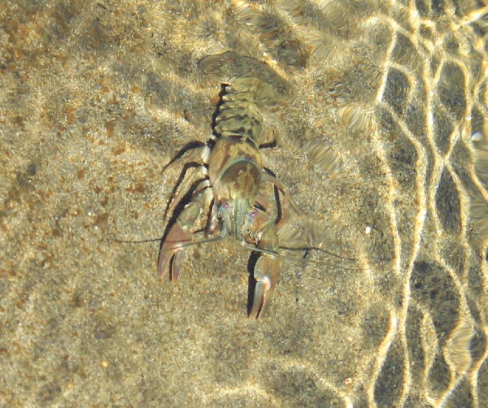 Crayfish, Photo By Bud Logan