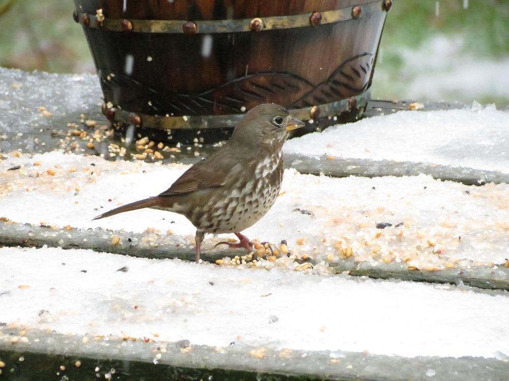 Fox Sparrow, Photo By Bud Logan