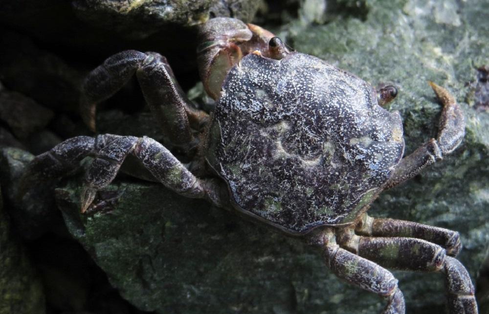 Mudflat Crab, Photo By Bud Logan