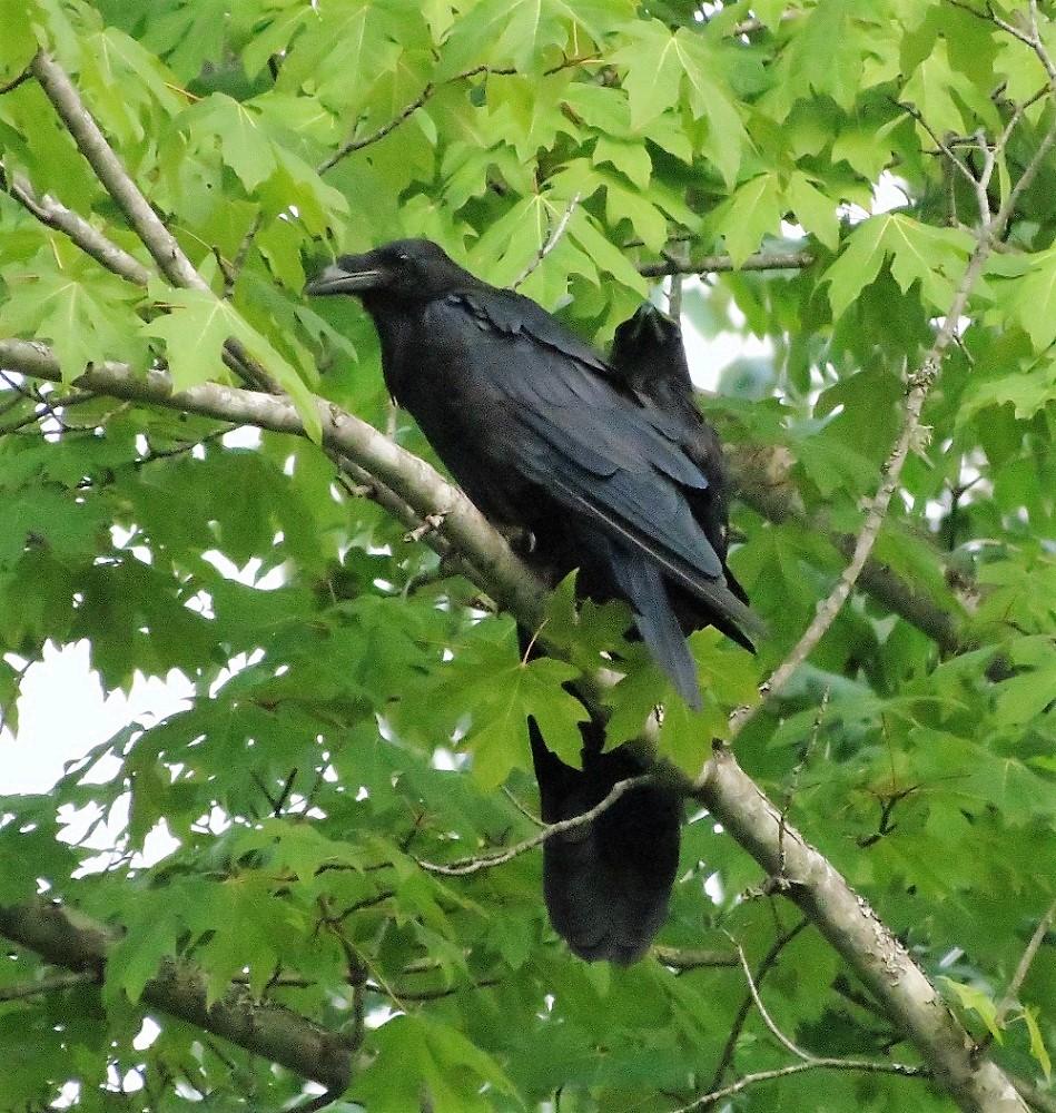 Raven, Vancouver Island, BC