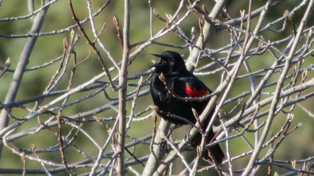 Red Wing Blackbird, Photo By Bud Logan